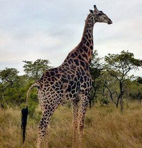 Giraffe Vienna
